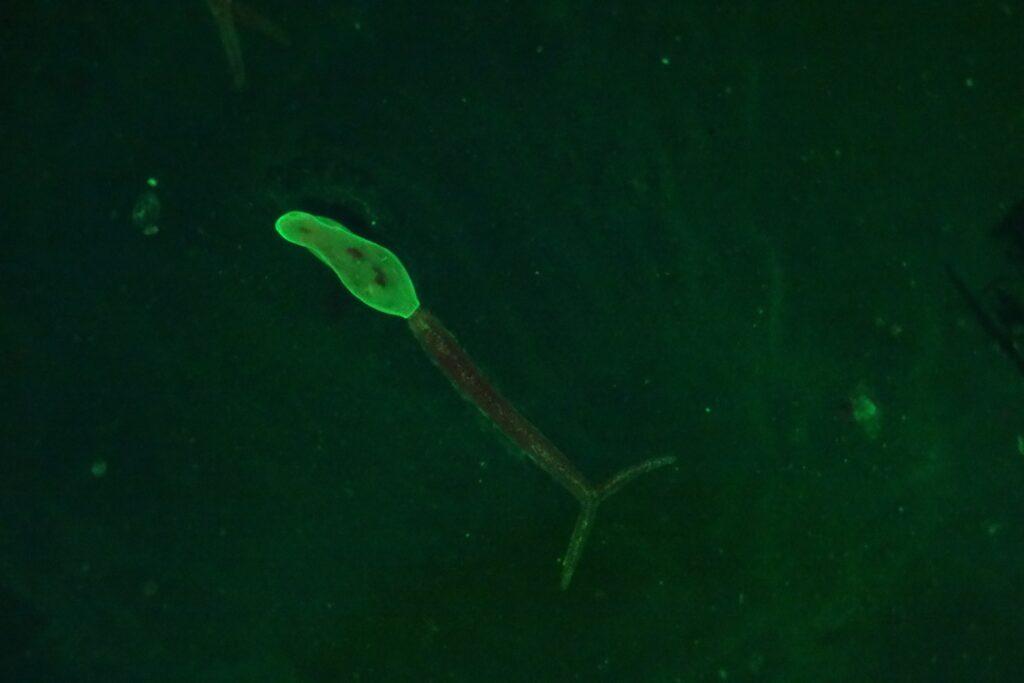 Zerkarie (Gabelschwanzlarve) von Schistosoma mansoni